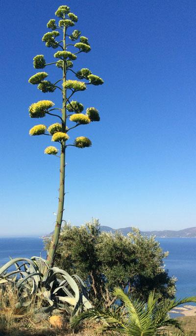Typischer Olivenbaum von Zakynthos